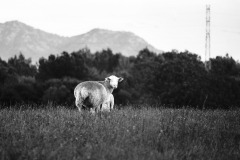 look into the eyes of a white sheep